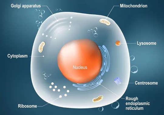 メッセンジャーRNAは、高度に保護された核内のDNAから細胞の残りの部分に遺伝情報を運び、そこでリボソームと呼ばれる構造がDNAの青写真に従ってタンパク質を構築することができます。