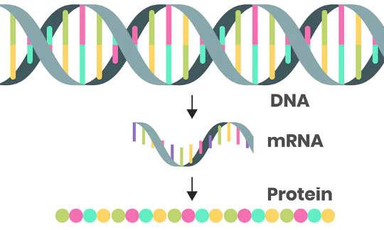 二本鎖DNA配列はmRNAコードに転写されるため、指示をタンパク質に翻訳することができます。