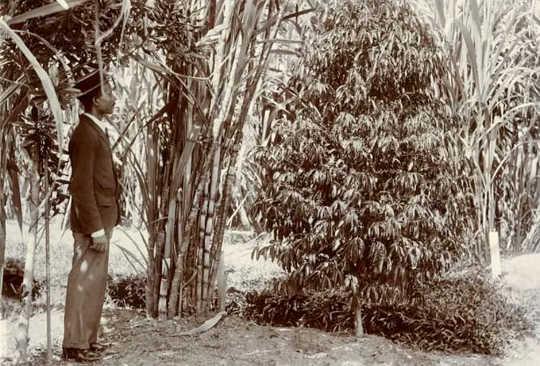 Coffea stenophylla, ditanam di Taman Botani Trinidad sekitar tahun 1900.