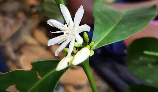 Bunga putih dari tanaman kopi stenophylla.