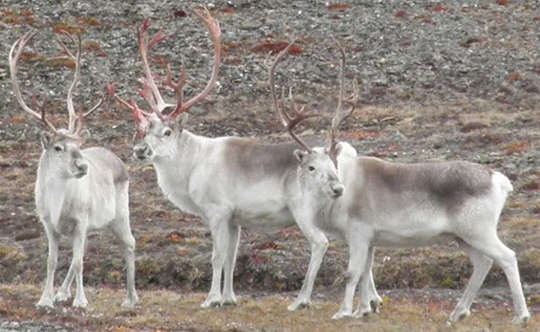 Peary caribou on Ellesmere Island in 2015. The subspecies is the smallest of the North American caribou.