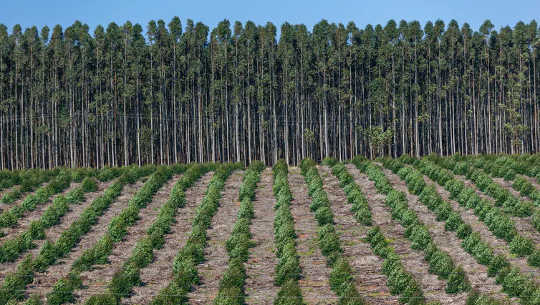 이 인간이 만든 숲에는 결국 수확 될 고무 나무 묘목이 심어 져 있습니다.
