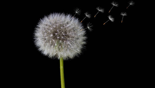 tohum formunda karahindiba çiçeği tohumları havada salıyor