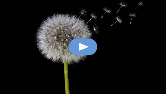 løvetannblomst i frøform som frigjør frø i luften