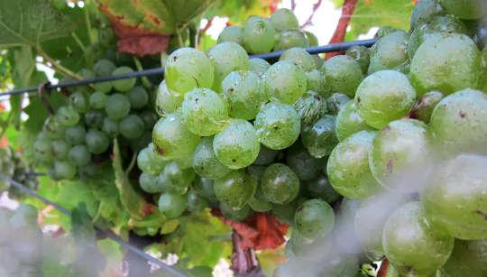 Certains vignobles australiens sont devenus neutres en carbone.