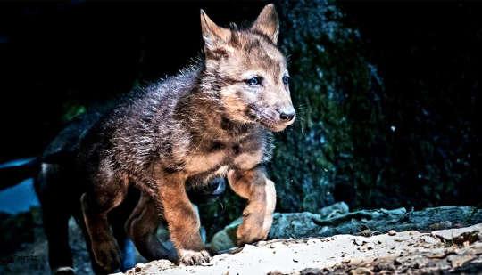 لماذا يأخذك جروك ولكن جرو الذئب لا يفعل ذلك