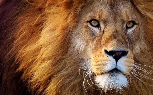 bức ảnh mặt sư tử