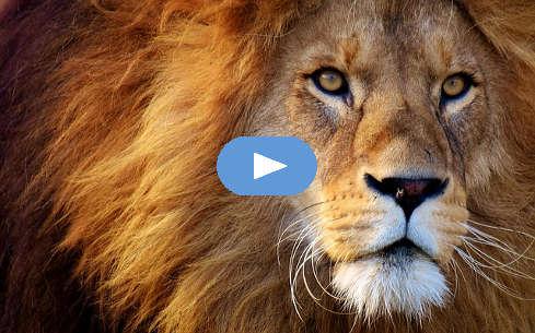 शेर के चेहरे की तस्वीर