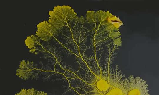 Physarium polycephalum plasmodia.