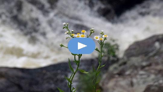 plantes de camomille en fleurs