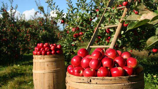 schepels appels
