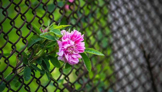 Blume wächst durch einen Maschendrahtzaun