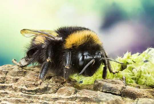 گرده افشان ها در معرض خطر: سموم دفع آفات نئونكوتینوئید باعث می شود كه زنبورها و مگس ها از داشتن خواب خوب در شب ممانعت كنند
