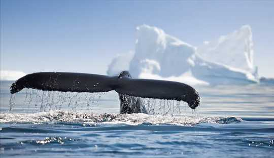 極地のクジラの希望に満ちた帰還