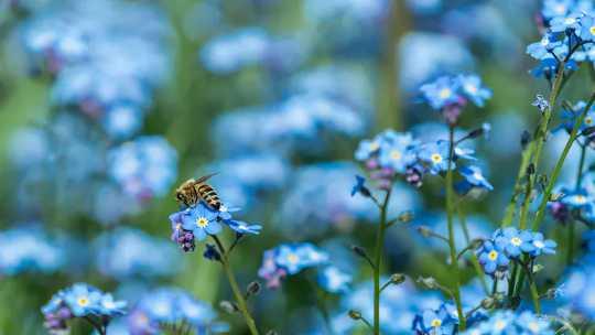 سر الزهرة الزرقاء: لون الطبيعة النادر يرجع لوجودها لرؤية النحل