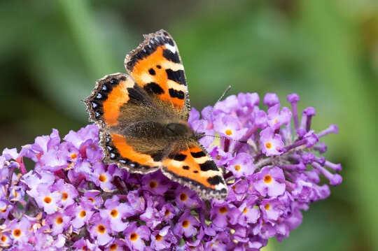 Hoe tuiniers belangrik is vir die bewaring van bye en vlinders - en hoe u hulle kan help