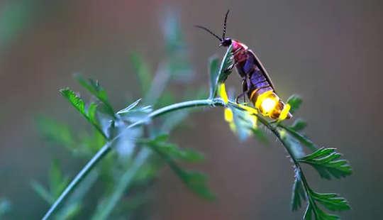 So helfen Sie Glühwürmchen, die dunkle Nächte für ihre Sommerlichtshows brauchen