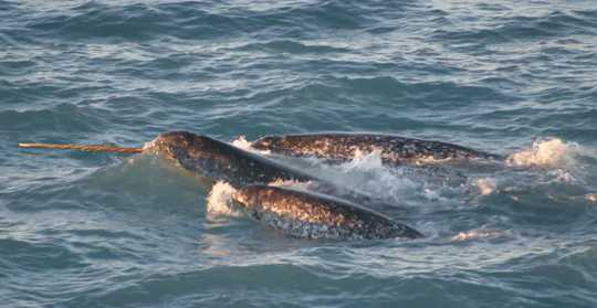 XNUMXつの牙が露出し、一緒に泳いでいるイッカクの鞘。