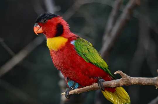 Burung beo merah hijau dan kuning di dahan.