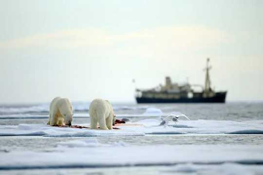 Dua beruang kutub memakan anjing laut di atas es laut dengan kapal di latar belakang.