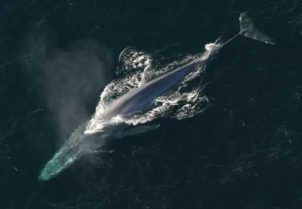 藍鯨浮出水面的鳥瞰圖。