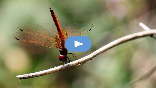 Geest raakt kort in vorm: wijsheid van een waterjuffer (video)