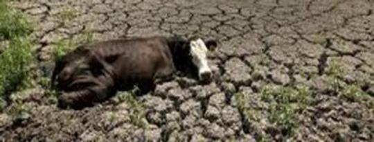 Texas Cows Suffer From Drought