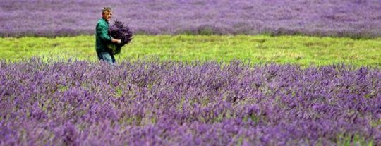 Lavender in Your Garden: For Health, Fragrance, Well-Being