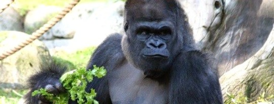 Eating like a Gorilla is Good for You???