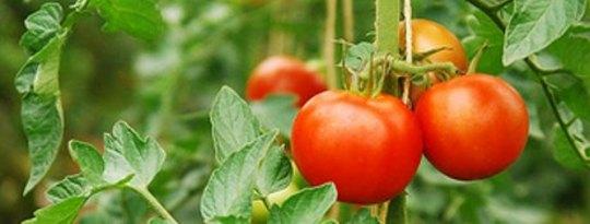 Cultivar uma horta em um quintal, um balde ou uma caixa de leite