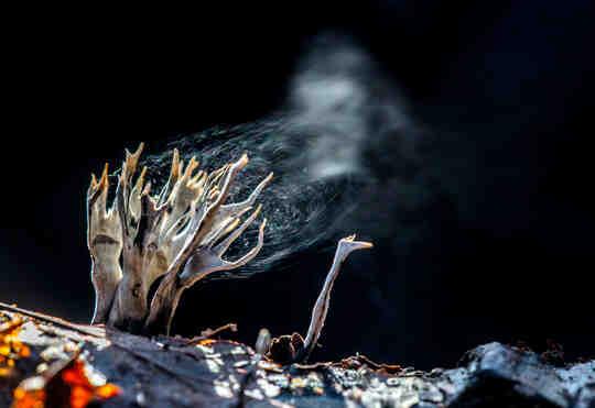손가락 모양의 곰팡이는 연기처럼 보이는 포자를 방출합니다.