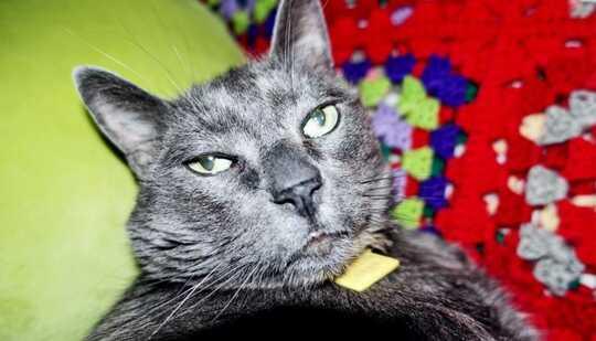 قطة سوداء ذات عيون خضراء تنظر إلى الكاميرا وهي على بطانية حمراء وخضراء