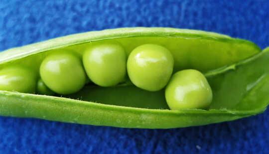 蓝色背景中绿色豆荚中的豌豆
