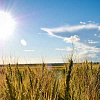 خورشید خیره کننده بر روی یک میدان گندم ضربه می زند. تصویر: ریک از طریق فلیکر