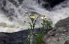 cây hoa cúc nở