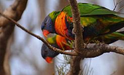 Colori audaci: i Rainbow Lorikeets sono tra gli uccelli di città di maggior successo. Kathryn Teare Ada Lambert, autore fornito
