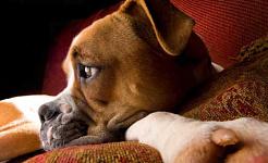 犬は本当に彼らの所有者の気持ちを伝えることができます