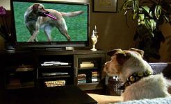क्या वे टीवी देखते हैं जब कुत्तों देखते हैं