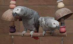 Papagaios cinzentos africanos são melhores com alguma companhia. Papooga, CC BY