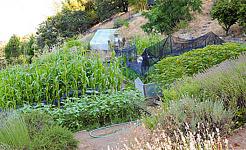 Trang trại nhỏ Common Ground, được thành lập tại Hạt Medocino, California, ở 1982, phục vụ như một địa điểm trình diễn toàn cầu cho canh tác sinh học. Ảnh của Cynthia Raiser Jeavons / Hành động sinh thái