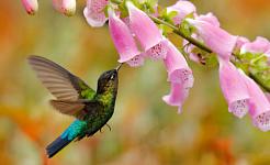 Hoe het kolonialisme vingerhoedskruid veranderde en waarom kolibries de reden zouden kunnen zijn