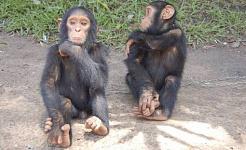Mire a mamá enseñar a jóvenes chimpancés a usar herramientas