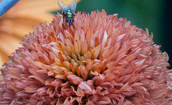 Kır Çiçeği Eczacısı: Yaz
