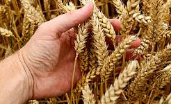 是否可以去除小麥的壞部分?