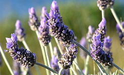 Apakah Aromaterapi?