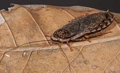 De nogal knappe gespikkelde Cockroach uit Noord-Oost-Afrika heeft verspreid over de hele wereld met menselijke hulp. Anthony O'Toole