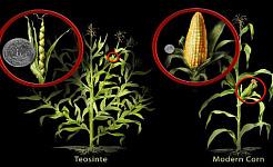El maíz cultivado moderno fue domesticado a partir de teosinte, una hierba antigua, durante más de 6,000 años a través de la cría convencional. Nicole Rager Fuller, Fundación Nacional de Ciencia