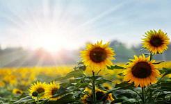 Miksi ei kasveja saa aurinkoa?