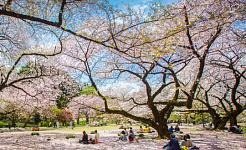 ปาร์ตี้ชมดอกซากุระของญี่ปุ่น – ประวัติของการไล่ตามความงามที่หายไปของซากุระ