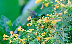 Hummingbirdsはどのようにネクターで描くのですか?